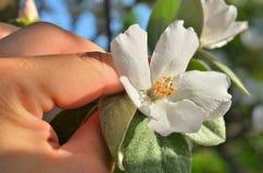 Flor del flor de la manzana en el men& x27; mano de s Imagen de archivo
