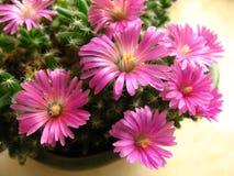flor del densum del trichodiadema Fotografía de archivo libre de regalías