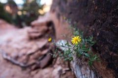 Flor del desierto Imagen de archivo libre de regalías