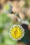 Flor del desierto Fotos de archivo