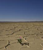 Flor del desierto Fotografía de archivo libre de regalías