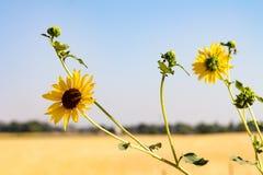 Flor del desierto Imagen de archivo
