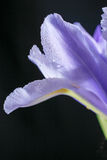 Flor del diafragma Imagen de archivo libre de regalías
