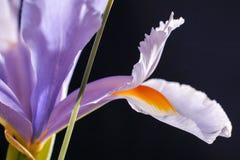 Flor del diafragma Fotografía de archivo