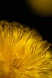 Flor del diente de león Imagenes de archivo
