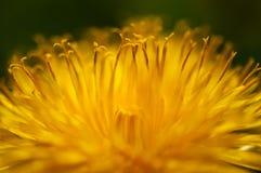 Flor del diente de león Fotos de archivo