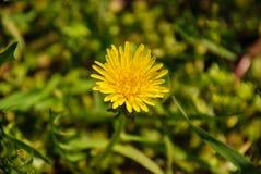 Flor del diente de león Imagen de archivo libre de regalías