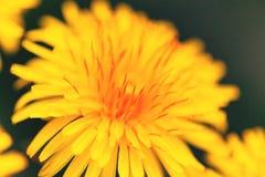 Flor del diente de león foto de archivo libre de regalías