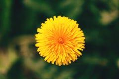 Flor del diente de león fotos de archivo libres de regalías