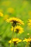 Flor del diente de león Imágenes de archivo libres de regalías