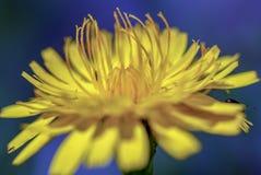 Flor del diente de león con algunos insectos desconocidos en ella imagen de archivo libre de regalías