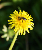 Flor del diente de león con la abeja Fotografía de archivo