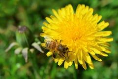 Flor del diente de león con la abeja en fondo de la hierba verde Imagen de archivo libre de regalías