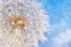 Flor del diente de león con la bola de las semillas Foto de archivo libre de regalías