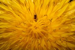 Flor del diente de león con una pequeña hormiga dentro Foto de archivo libre de regalías