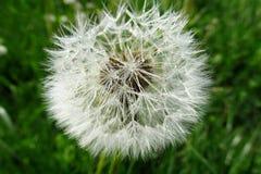 Flor del diente de león del Blowball Imágenes de archivo libres de regalías