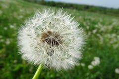 Flor del diente de león del Blowball Fotografía de archivo libre de regalías