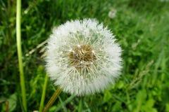 Flor del diente de león del Blowball Imagen de archivo libre de regalías
