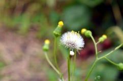 Flor del diente de león del blowball del primer imagenes de archivo