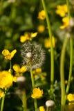 Flor del diente de león en el campo Imagenes de archivo