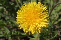 Flor del diente de león en la hierba 30648 imagenes de archivo