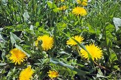 Flor del diente de león en la hierba Imagen de archivo