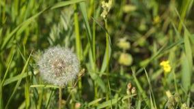 Flor del diente de león en prado