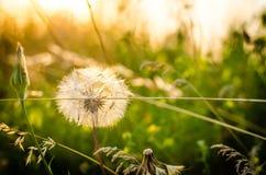 Flor del diente de león en sol Imagen de archivo libre de regalías