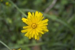 Flor del diente de león en un jardín verde fotos de archivo libres de regalías