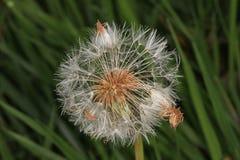 Flor del diente de león ida para sembrar Foto de archivo libre de regalías