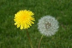 Flor del diente de león y cabeza de la semilla Fotografía de archivo libre de regalías