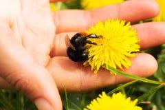 Flor del diente de león y un abejorro en una palma Imagenes de archivo