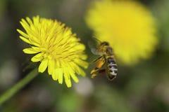 Flor del diente de león y una abeja Imagenes de archivo