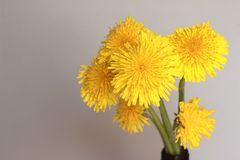 Flor del diente de le?n en un tronco largo en un fondo borroso en un prado fotografía de archivo libre de regalías