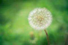 Flor del diente de le?n Fotos de archivo libres de regalías