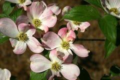 Flor del cornejo foto de archivo