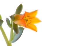 Flor del echeveria foto de archivo libre de regalías