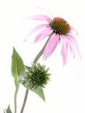 Flor del Echinacea Foto de archivo libre de regalías