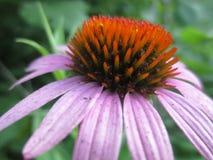 Flor del Echinacea Fotografía de archivo