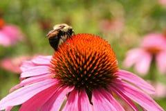 Flor del Echinacea con la abeja Imágenes de archivo libres de regalías