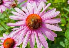 Flor del Echinacea con una abeja Imagenes de archivo