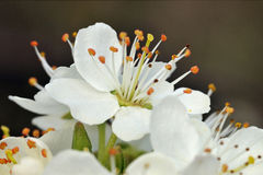 Flor del endrino Fotografía de archivo