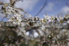 Flor del endrino de la abeja en el seto nativo del inglés Imagen de archivo libre de regalías