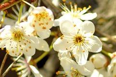 Flor del endrino en primavera Imágenes de archivo libres de regalías