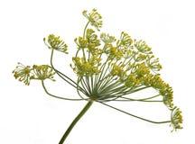 Flor del eneldo Foto de archivo libre de regalías