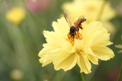 Flor del enjambre de la abeja (estilo del vintage) Foto de archivo libre de regalías