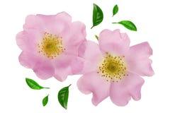 Flor del escaramujo con la hoja aislada en el cierre blanco del fondo para arriba Imágenes de archivo libres de regalías