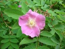 Flor del escaramujo en el jardín Foto de archivo libre de regalías