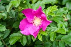 Flor del escaramujo Naturaleza, fondo Fotografía de archivo