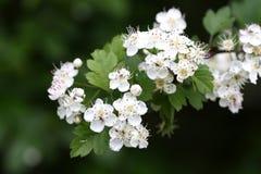 Flor del espino imagenes de archivo